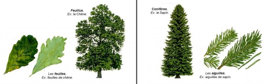 arbre-feuillus-coniferes
